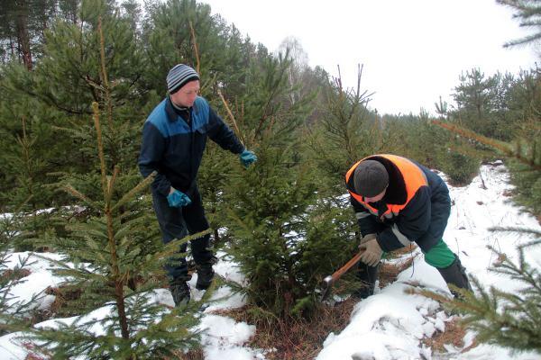 У жителей Каменска-Уральского и района есть возможность самим срубить сосну или ель к Новому году...